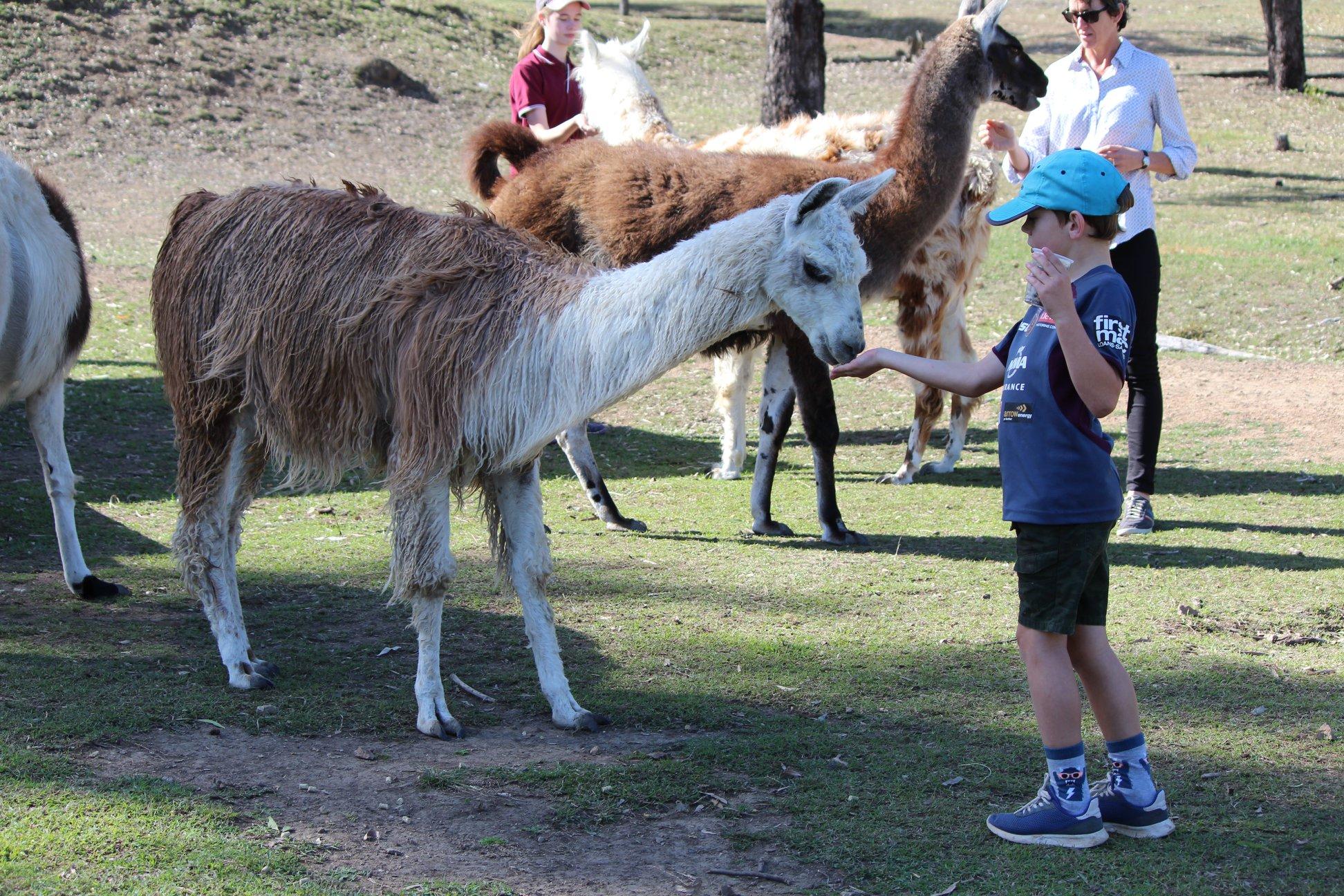 Ottaba llama walks